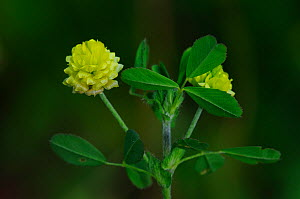 Hop trefoil (Trifolium campestre) flowering, Dorset, UK, July  -  Colin Varndell
