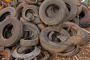 Pile of used tyres, Recycling Center, Ithaca, New York, USA, property released.  -  John Cancalosi