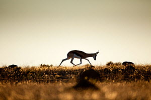 Springbok (Antidorcas marsupialis) silhouetted on the horizon. Namaqualand, South Africa, December.  -  Richard Du Toit