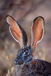 Cape Hare (Lepus capensis) portrait. South Africa, December. - Richard Du Toit