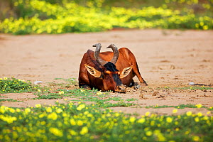 Hartebeest (Alcelaphus buselaphus) resting on dusty ground. Kgalagadi, South Africa, February.  -  Richard Du Toit