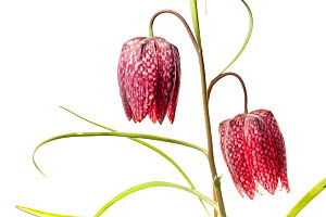 Snake's head fritillary (Fritillaria meleagris) meadowland, Isere, Rhones-Alpes, France, March. meetyourneighbours.net project  -  MYN / Denis Palanque