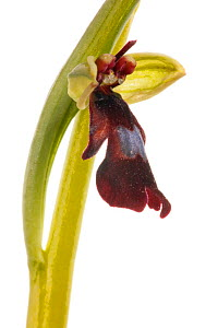 Fly orchid (Ophrys insectifera) grassland, Optevoz, Isere, Rhones-Alpes, France, April. meetyourneighbours.net project  -  MYN / Denis Palanque
