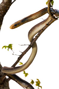 Aesculapian snake (Elaphe longissima) in tree,  grassland, Optevoz, Isere, Rhones-Alpes, France, April. meetyourneighbours.net project  -  MYN / Denis Palanque