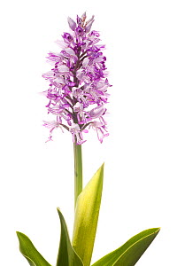 Military orchid (Orchis militaris) grassland, Panossas, Isere, Rhones-Alpes, France, April. meetyourneighbours.net project  -  MYN / Denis Palanque