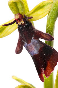 Fly orchid (Ophrys insectifera) close up of flower, Optevoz, Isere, Rhones-Alpes, France, April. meetyourneighbours.net project  -  MYN / Denis Palanque