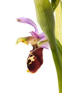 Late spider orchid (Ophrys fuciflora) grassland, Optevoz, Isere, Rhones-Alpes, France, April. meetyourneighbours.net project  -  MYN / Denis Palanque