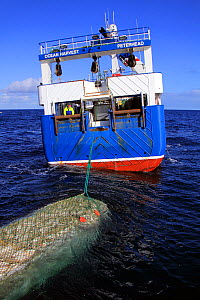 """Net filled with Cod (Gadus) being winched alongside fishing vessel """"Ocean Harvest"""" on the North Sea, Europe, March 2012. Property released. - Philip Stephen"""