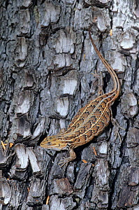 Slevin's Bunchgrass Lizard (Sceloporus slevini) against bark. Sierra de Ajos National Forest, northwest Mexico, July. - Claudio Contreras