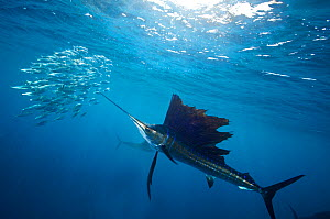 Atlantic Sailfish (Istiophorus albicans) attacking school of sardine (Sardinella aurita) bait ball. Isla Mujeres, Caribbean Sea, Mexico. - Claudio Contreras