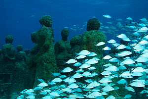 Cottonwick (Haemulon melanurum) fish among submarine statues at the MUSA Cancun Underwater Museum, a conservation project to promote the growth of coral. Isla Mujeres, Cancun National Park, Caribbean... - Claudio Contreras