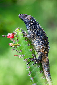 Western / Mexican Spiny-tailed Iguana (Ctenosaura pectinata) on flowering cactus. Maria Madre Island, Islas Marias Biosphere Reserve, Sea of Cortez (Gulf of California), Mexico, September.  -  Claudio Contreras