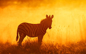 Common zebra (Equus quagga) foal in dusty sunset,  Etosha National Park, Namibia Photo by Sharon Heald - Sharon Heald