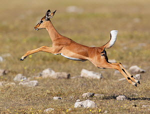 RF- Black faced Impala (Aepyceros melamis petersi) female jumping, Etosha National Park, Namibia. (This image may be licensed either as rights managed or royalty free.) - Tony Heald