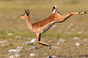 Black faced Impala (Aepyceros melamis petersi) female jumping, Etosha National Park, Namibia  -  Tony Heald