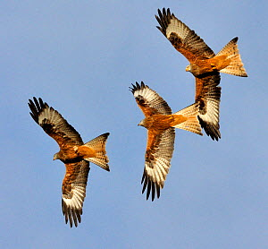 Three Red Kites (Milvus milvus) chasing each other in flight. Wales, UK. November.  -  Andy Rouse / 2020VISION