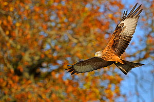 Red Kite (Milvus milvus) in flight. Wales, UK. November. Did you know? In the 1800s UK Kite populations dropped to a few pairs but now due to conservation efforts there are around 2000!  -  Andy Rouse / 2020VISION