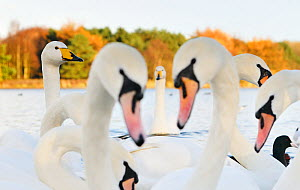 Whooper Swans (Cygnus cygnus) and Mute Swans (Cygnus olor) close up on water. Scotland, November.  -  Fergus Gill / 2020VISION