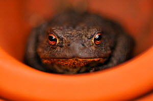Common Toad (Bufo bufo) resting in a plant pot. Perthshire, Scotland, April. Did you know? When toads eat they blink to help them swallow.  -  Fergus Gill / 2020VISION