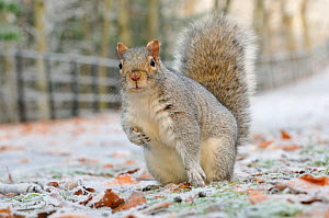 Grey Squirrel (Sciurus carolinensis) in urban park in winter. Glasgow, Scotland, December. Did you know? Scientists believe that some of the UK's native Red Squirrels are gaining immunity to the pox i... - Fergus Gill / 2020VISION