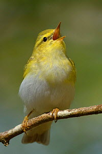 Wood Warbler (Phylloscopus sibilatrix) singing from perch. Wales., April.  -  Andy Rouse / 2020VISION