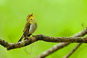 Wood Warbler (Phylloscopus sibilatrix) singing from perch. Wales, May. - Andy Rouse / 2020VISION