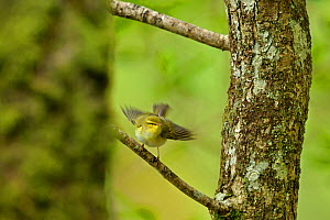 Wood Warbler (Phylloscopus sibilatrix) alighting among sessils oak trunks. Wales, May. - Andy Rouse / 2020VISION
