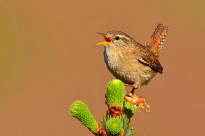 RF- Wren (Troglodytes troglodytes) singing with tail cocked from new pine growth. Wales, May. Did you know? The wren is the UK's most common bird with over 8 million breeding pairs. (This image may be...  -  Andy  Rouse / 2020VISION