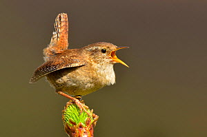 Wren (Troglodytes troglodytes) singing with tail cocked from new pine growth. Wales, May.  -  Andy Rouse / 2020VISION