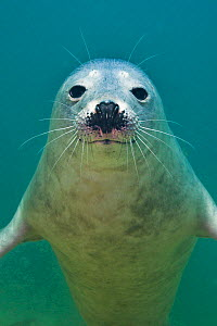 Portrait of a young Grey seal (Halichoerus grypus) Farne Islands, Northumberland, UK, North Sea, July  -  Alex Mustard / 2020VISION