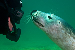 2020VISION videographer Ben Burville befriends a young Grey seal (Halichoerus grypus) Farne Islands, Northumberland, UK, North Sea, July, model released - Alex Mustard / 2020VISION
