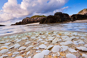 Mollusc shells washed up on a beach in the Cairns of Coll, Island of Coll, Inner Hebrides, Scotland, UK, North Atlantic Ocean, June 2011  -  Alex Mustard / 2020VISION
