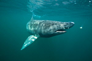 Basking shark (Cetorhinus maximus) closing its mouth to swallow a mouthful of plankton, Island of Coll, Inner Hebrides, Scotland, UK, North Atlantic Ocean, June - Alex Mustard / 2020VISION