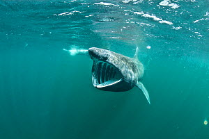 Basking shark (Cetorhinus maximus) feeding on plankton (visible as white dots) concentrated at the surface off the Island of Coll, Inner Hebrides, Scotland, UK, North Atlantic Ocean, June - Alex Mustard / 2020VISION