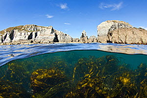 Kelp forest (Laminaria sp) growing beneath the cliffs of Lundy Island, Devon, UK, Bristol Channel, July - Alex Mustard / 2020VISION