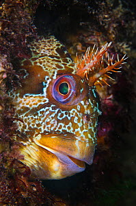 Tompot blenny (Parablennius gattorugine) beneath Swanage Pier, Dorset, UK. Photographed during May. English Channel. - Alex Mustard / 2020VISION