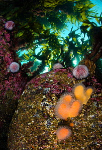 Soft coral Dead man's fingers (Alcyonium digitatum) and Common sea urchins (Echinus esculentus) on boulders beneath a canopy of kelp, Rosehearty, Aberdeen, Scotland, UK, Moray Firth, North Sea, May  -  Alex Mustard / 2020VISION