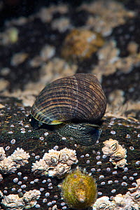 Common edible periwinkle (Littorina littorea) on submerged rocks covered in barnacles and limpets. This species in an important herbivore in this habitat. Note that eyes are visible in this photo. Loc...  -  Alex Mustard / 2020VISION