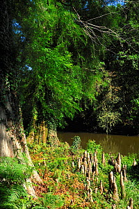 Bald cypress tree (Taxodium distichum) and knees next to river, Courant d'Huchet, Landes, France, August.  -  Michel Poinsignon