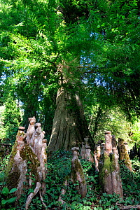 Bald cypress tree (Taxodium distichum) and knees, Courant d'Huchet, Landes, France, August.  -  Michel Poinsignon