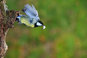 Great tit (Parus major) flying flying from nest carrying faecal pellet, Lorraine, France, March.  -  Michel Poinsignon