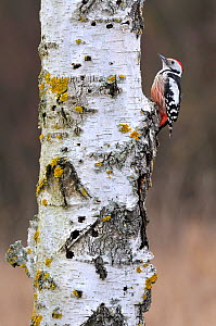 Middle spotted woodpecker (Dendrocopos medius) on a birch tree (Betula) trunk during a winter, Lorraine, France, February.  -  Michel Poinsignon