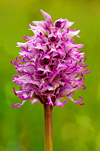 Monkey orchid (Orchis simia) in flower Arnaville, Lorraine, France, May,  -  Michel Poinsignon