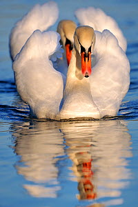 Mute swan (Cygnus olor) two adults on water in courtship display, Lorraine, France, January.  -  Michel Poinsignon