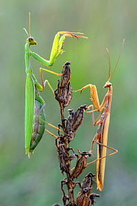 Praying mantis (Mantis religiosa) pair on plant facing each other, Lorraine, France, September. - Michel Poinsignon