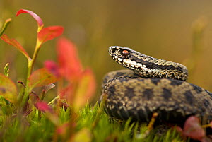 Male adder (Vipera berus) amongst Bilberry. Cannock Chase, Staffordshire, UK, October. - Danny Green