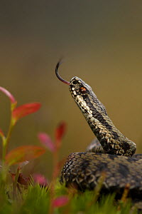 Male Adder (Vipera berus) tasting the air. Cannock Chase, Staffordshire, UK, October. - Danny Green