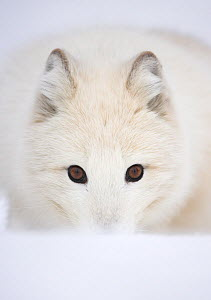 Arctic Fox (Vulpes lagopus) portrait in winter coat. Norway, Captive, March.  -  Danny Green