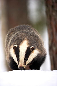 Badger (Meles meles) on snow. Captive. Norway, March.  -  Danny Green