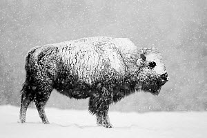 Bison (Bison bison) in snowstorm. Yellowstone National Park, USA, February. - Danny Green